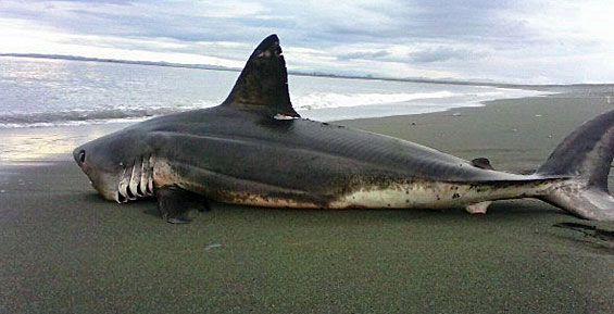Пляж и акулы 87
