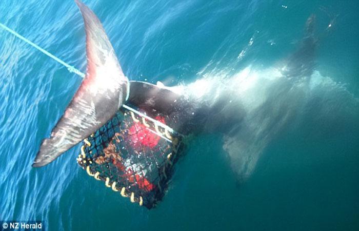 как ловят белых акул