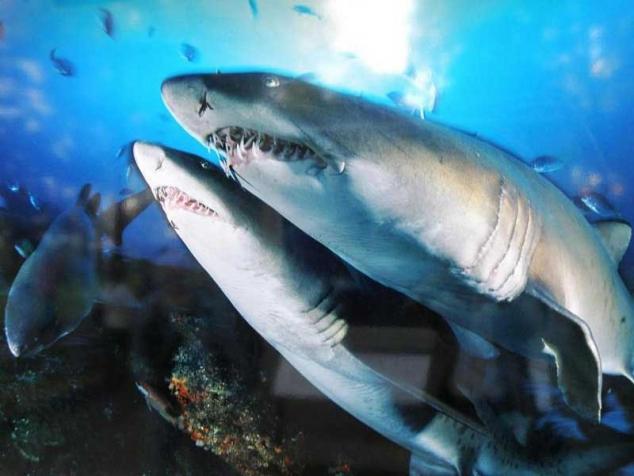Как акулы занимались сексом