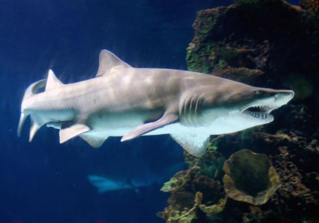 фото песчаной акулы
