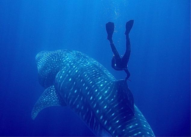 Самая большая акула в мире фото фото 613-770
