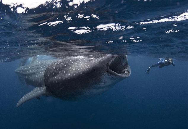 Акулы большие картинки