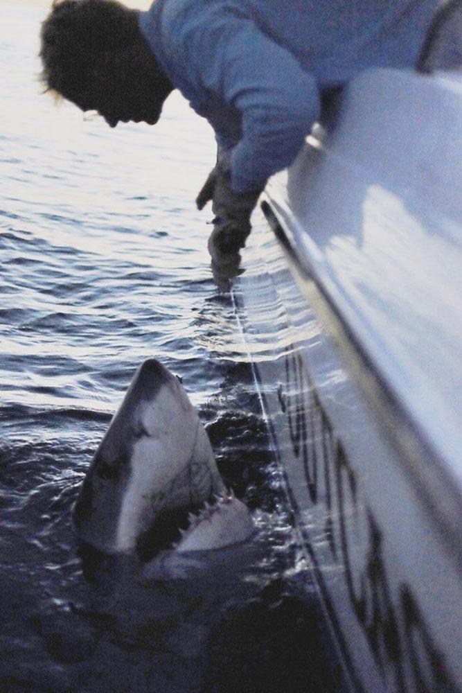 белая акула на удочку