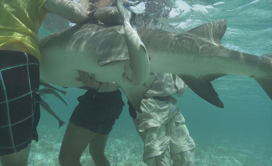 a study on the reproduction of the lemon shark of the bimini islands