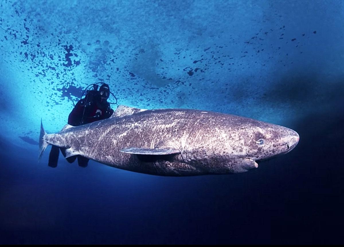 полярная акулы фото
