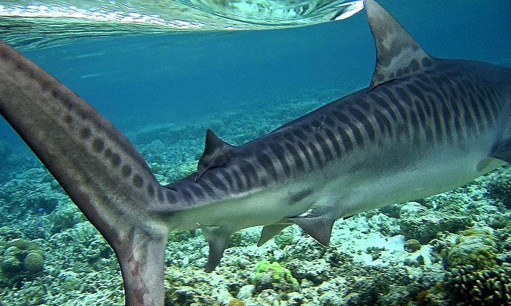 картинки акула тигровая