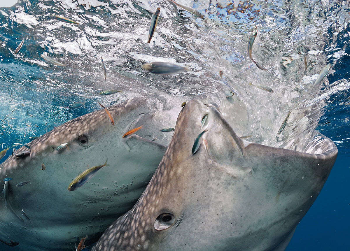 дух акул игры