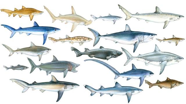 все виды акул фото