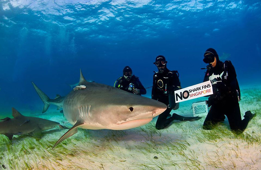 a research on shark fin soup and the dangers of exterminating the sharks in the process