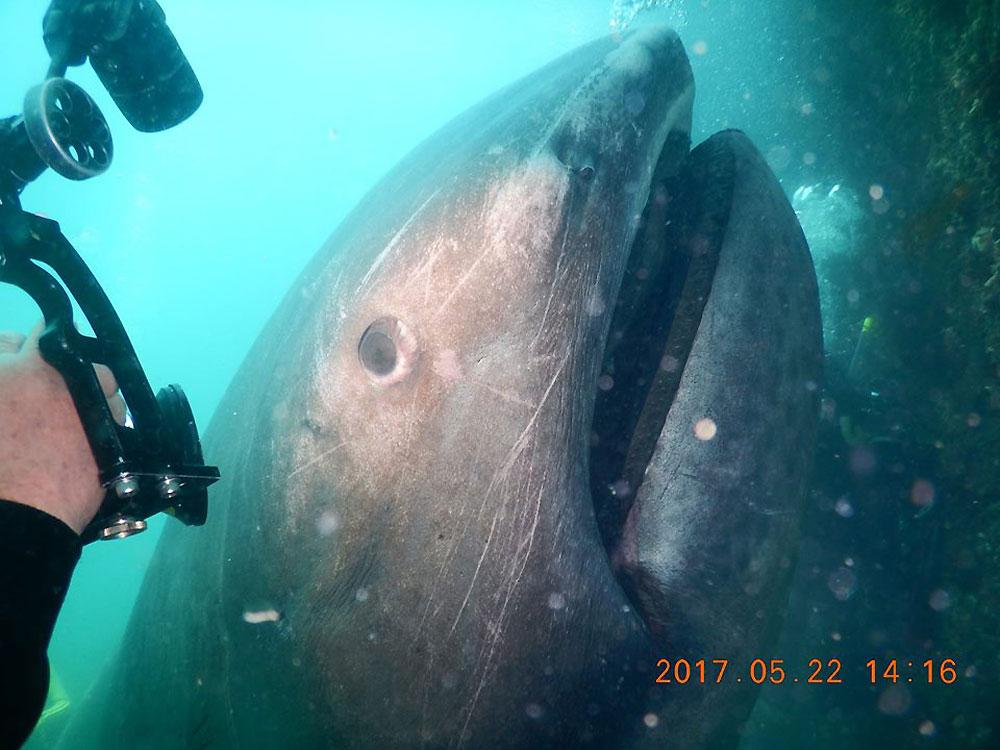 Редкие видео глубоководной большеротой акулы (эксклюзив ... всплывать