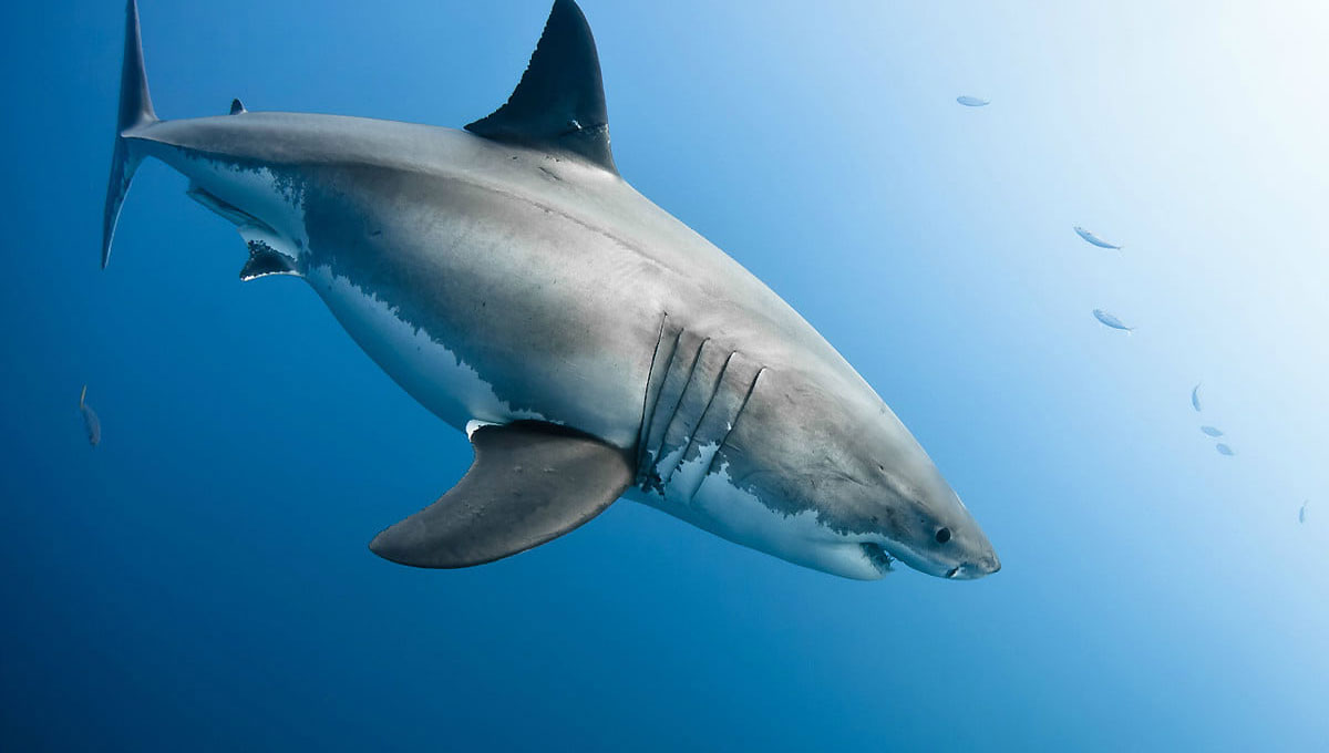 how do sharks hunt essay