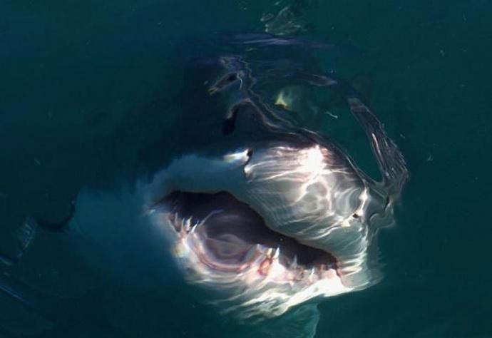 Белая акула - опасность из глубины фото