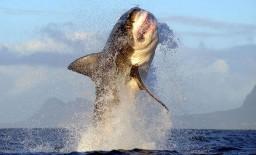 Гигантская белая акула выпрыгивает из воды фото