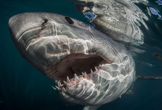 Белая акула раскрыла рот набитый острыми зубами фото