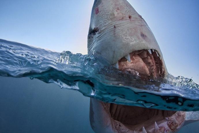 Белая акула опасна фото