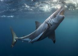 Самая большая и опасная акула в мире фото
