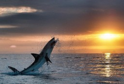 Красивое фото белой акулы на фоне заката
