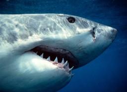 Зубы и челюсти большой белой акулы фото