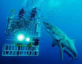 Опасная белая акула подплыла к клетке с дайверами фото