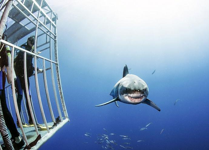 Белая акула самый опасный хищник фото