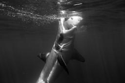 Чёрно-белая фотография большой белой акулы
