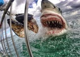 Белая акула хищник фото
