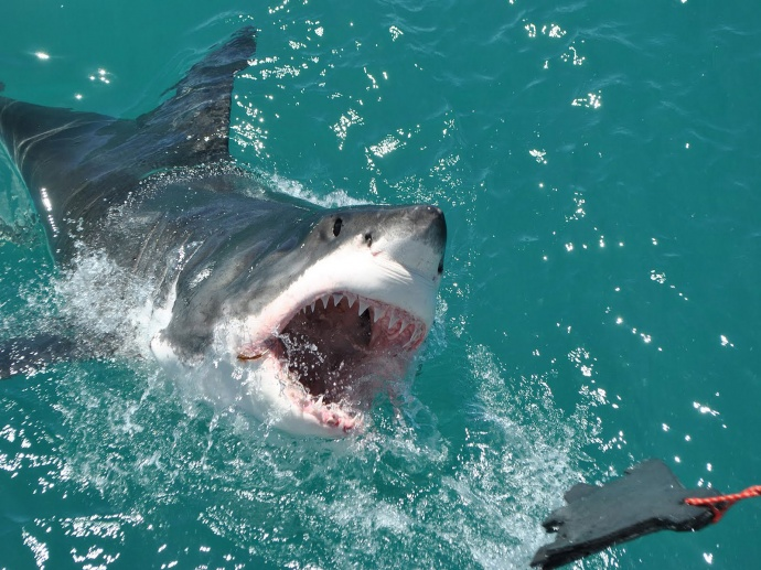 Белая акула атакует приманку фото