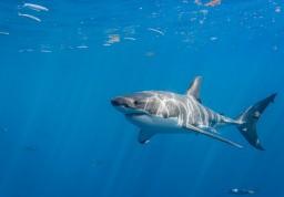 Молодая белая акула фото
