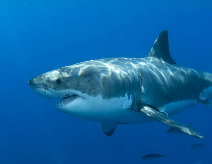 Белая акула обычных размеров фото