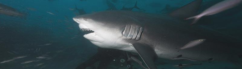 Факты о бычьей акуле