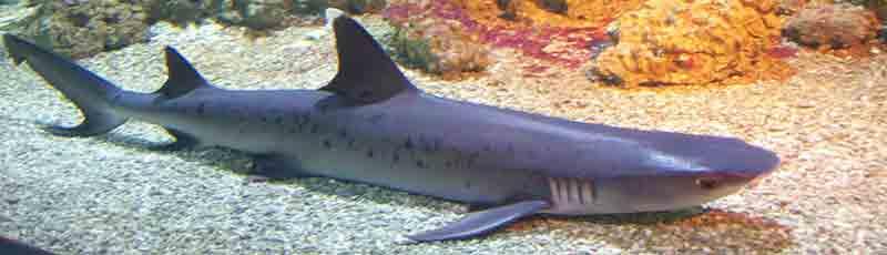 Факты об аквариумных акулах