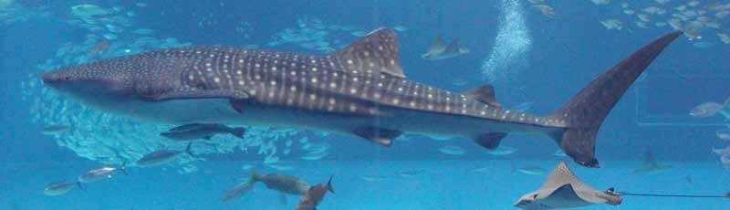 Факты про китовую акулу