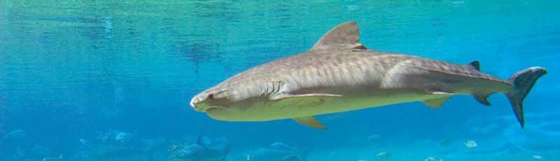 Факты про тигровую акулу
