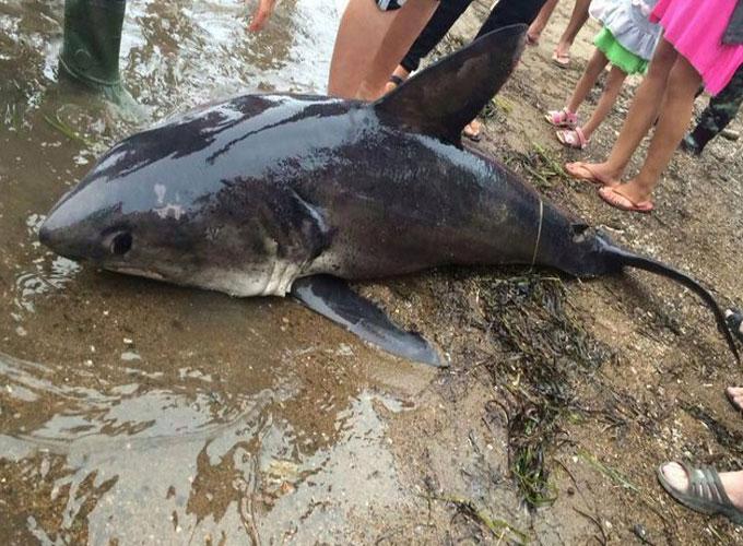 В Хасанском районе снова поймали акулу