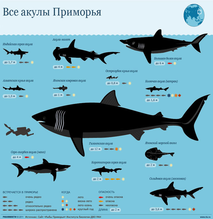 Акулы, обитающие в Приморье в Японском море