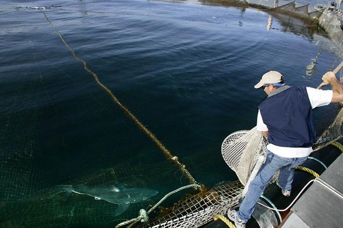 Ловля белых акул