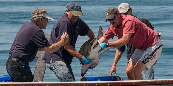 Детеныш белой акулы в руках ученых