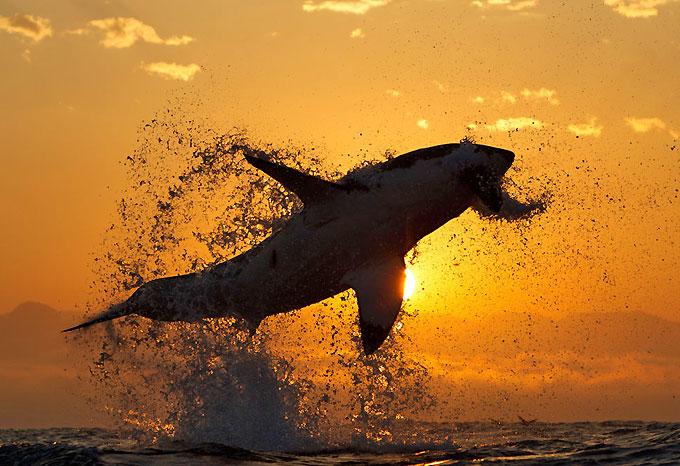 Большая белая акула выпрыгивает из воды