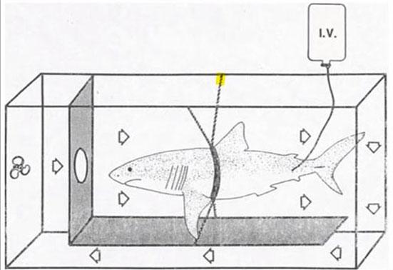 Транспортировка акулы в аквариум