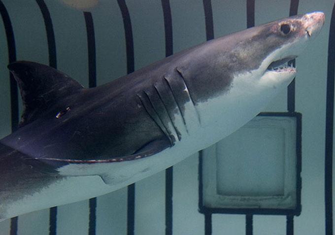 Детеныш белой акулы в демонстрационном аквариуме