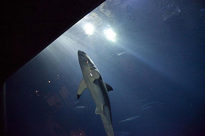 Белая акула плавает в аквариуме в неволе