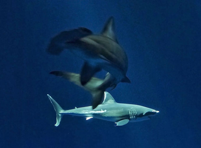 Белая акула в аквариуме съела других акул
