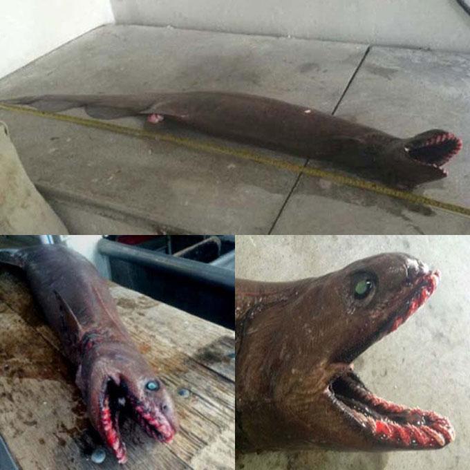 Австралийская плащеносная акула
