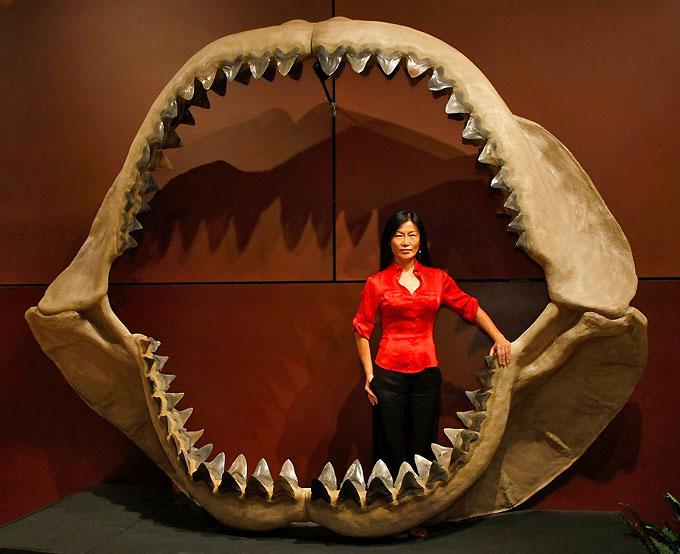 Фото: челюсть древней акулы Мегалодон
