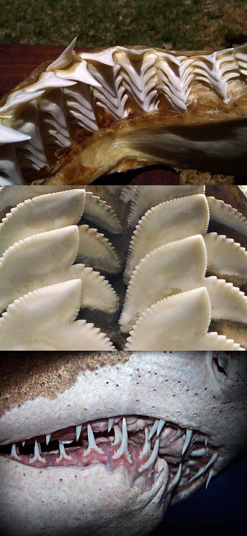 Фото: формы зубов и челюстей акул