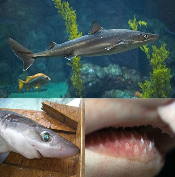Фото черноморской акулы катран