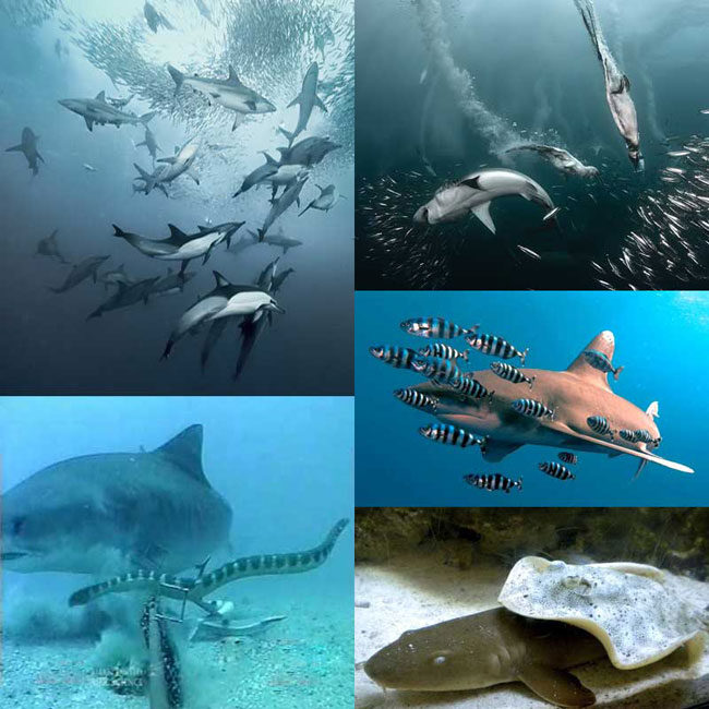 Друзья и партнеры акулы