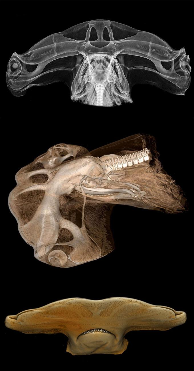 Голова молотоголовых акул