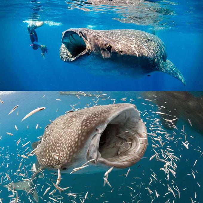 Какая акула самая большая в мире?