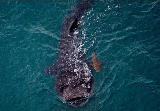 Редкая фотография китовой акула с детёнышем